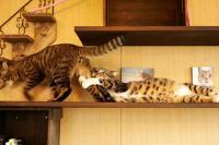 dramatische kat