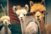 alpacas duitsland