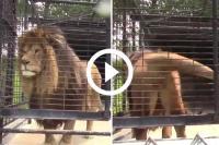 leeuw irritante dierentuinbezoekers warme douche